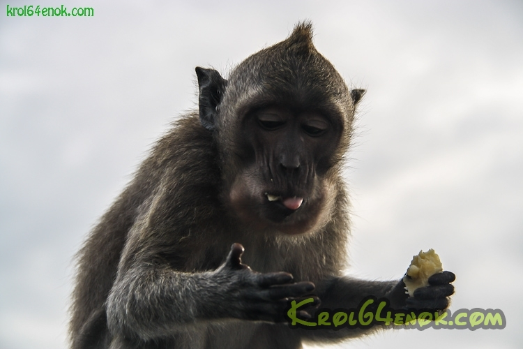 monkeys_uluwatu