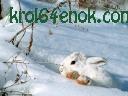Белый кроль