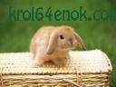 Вислоухий крольчонок