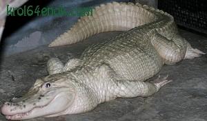 Крокодил альбинос. Крокодилы - рептилли, существующие на Земле около 200 млн лет