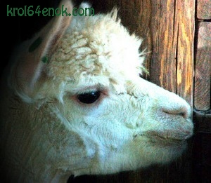 Белая альпака из Нэшвильского зоопарка