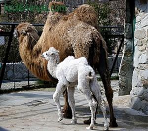 Верблюд альбинос из Ялтинского зоопарка.Украина