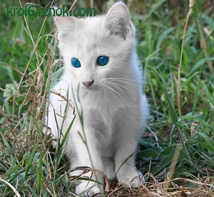Кот альбинос