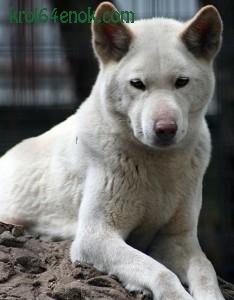 Альбинос Динго. Динго - хищное млекопитающих рода волков, одичавшая домашняя собака, завезенная в Австралию переселенцами из Азии примерно 5-8 тыс. лет назад.