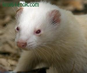 Хорек-альбинос. Хорьки - млекопитающие семейства куньих отряда хищных