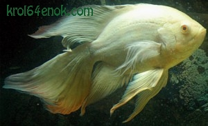 Long Finned Oscar. Рыба-альбинос