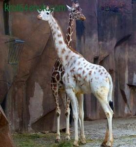 Белый жираф. Жираф — самое высокое из существующих животных