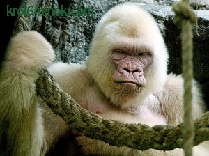 Горилла-альбинос из Испанского зоопарка. Сентябрь 2003