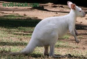Альбинос кенгуру. Австралия