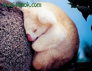 Детеныш коалы альбиноса. Австралия