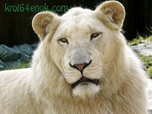 Лев-альбинос. Большинство белых львов проживают в Южной Африке