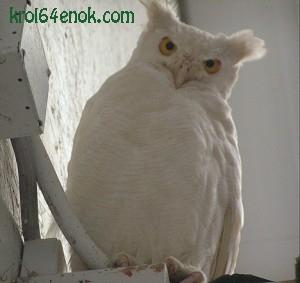 Сова альбинос. јовы - отряд ночных хищных птиц.