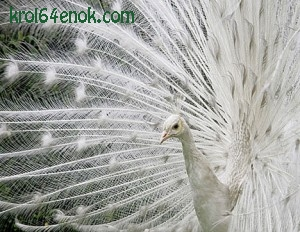 Павлин альбинос из Ботанического сада в Колумбии