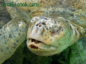 Зеленая черепаха, альбинос