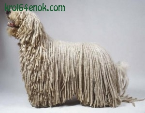 """Командор. Этот """"король венгерских овчарок"""" является одной из самых крупных собак в мире, рост в холке у кобелей составляет более 80 см, а длинная белая шерсть, свернутая в оригинальные шнурки, делает собаку еще более массивной и внушительной."""