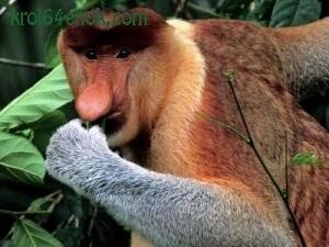 Носач. Примат с острова Борнео.