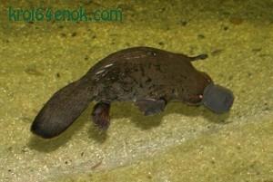 Утконос. Водоплавающее млекопитающее отряда однопроходных. Наиболее любопытное его качество — это то, что оно обладает вместо обычного рта утиным клювом, позволяющим ему питаться в иле, как птицам
