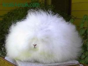 Кролик ангорский. Животное действительно чрезвычайно эффектно, бывают экземпляры у которых шерсть достигает длины до 80 см. Разведение этой породы очень выгодно, - с нее можно получить шерсть, шкуру, превосходное мясо и обильный приплод. А сам ангорский кролик мало требователен и редко страдает от болезней