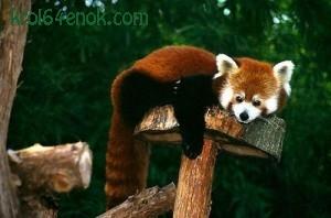 Малая панда. Малая панда ведет преимущественно ночной (вернее, сумеречный) образ жизни, днем спит в дупле, свернувшись и накрыв голову хвостом. В случае опасности также забирается на деревья.