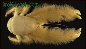Необычная мохнатость, поразившая исследователей, послужила причиной того, что краба в шутку называли «йети-крабом»