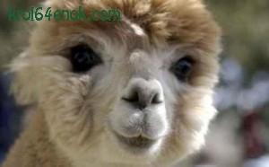 Альпака. Животное семейства верблюжьих. Ценится, прежде всего, за свою шерсть (24 натуральных оттенка), которая имеет все свойства овечьей, но по весу намного легче.