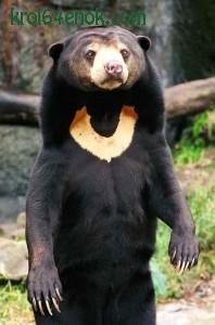 Малайский медведь, или бируанг. Самый мелкий и самый драчливый из всех существующих медведей