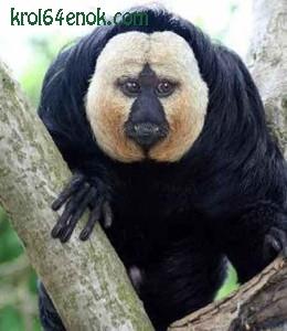 Белолицый саки. Примат, широконосая обезьяна. Всю жизнь белолицые саки проводят на деревьях.