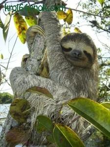 Ленивец. 15 часов в сутки ленивцы спят. Максимальная скорость передвижения - порядка 4 метров в минуту.